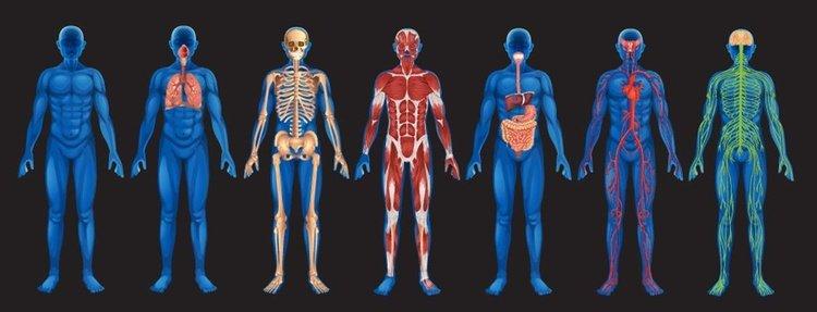 Níveis estruturais do corpo humano